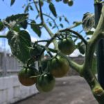 実の成長を促すべく、ミニトマトの摘芯をしました!