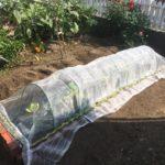白菜を定植!マルチ、コンパニオンプランツ(春菊)、防虫ネットの鉄壁