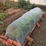 ダンポール交換!定植一ヶ月後の白菜と春菊。