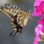 レモンの木にアゲハ蝶が卵を産み付ける瞬間!